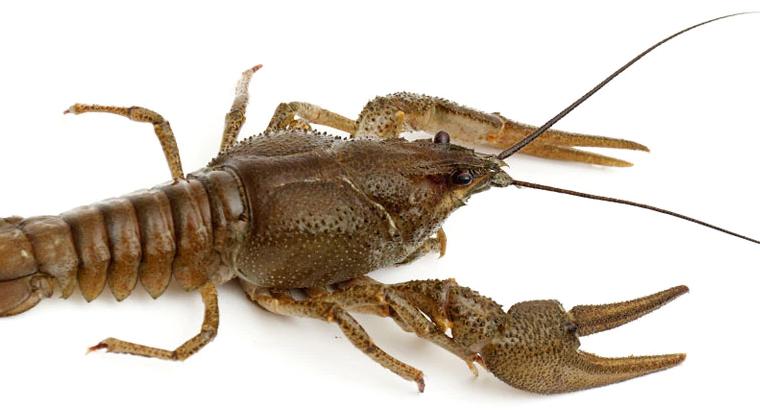 na condition make crayfish bend